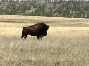 Buffalo at Niobrara Wildlife Refuge, NE